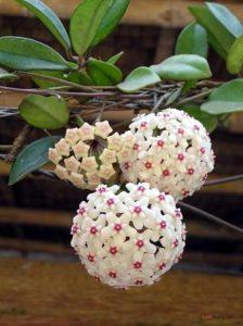 Hướng dẫn cách trồng hoa Cẩm Cù (Phần 1) - cach trong hoa cam cu3 224x300