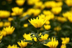 Hướng dẫn cách trồng hoa Cúc (Phần 1) - cach trong hoa cuc1 300x200