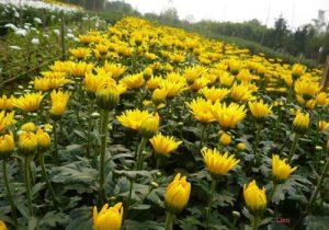 Hướng dẫn cách trồng hoa Cúc (Phần 1) - cach trong hoa cuc3 300x210 1