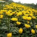 Hướng dẫn cách trồng hoa Cúc (Phần 1)
