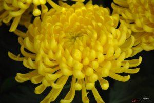 Hướng dẫn cách trồng hoa Cúc (Phần 2) - cach trong hoa cuc6 300x201