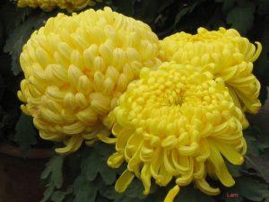 Hướng dẫn cách trồng hoa Cúc (Phần 2) - cach trong hoa cuc7 300x225