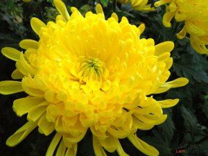 Hướng dẫn cách trồng hoa Cúc (Phần 2) - cach trong hoa cuc8 300x225 1