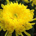Hướng dẫn cách trồng hoa Cúc (Phần 2) - cach trong hoa cuc8 300x225 150x150