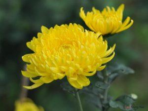 Hướng dẫn cách trồng hoa Cúc (Phần 2) - cach trong hoa cuc9 300x225