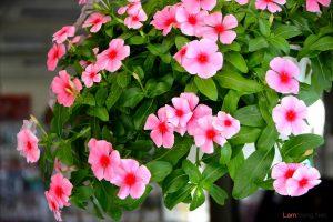 Hướng dẫn cách trồng hoa Dừa Cạn (Phần 1) - cach trong hoa dua can1 300x200 1