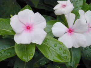Hướng dẫn cách trồng hoa Dừa Cạn (Phần 1) - cach trong hoa dua can3 300x225
