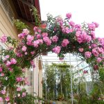 Cách trồng hoa Hồng leo không hề khó ! - cach trong hoa hong leo khong he kho 2 150x150
