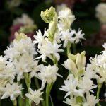 Hướng dẫn cách trồng hoa Huệ - cach trong hoa hue1 300x225 150x150