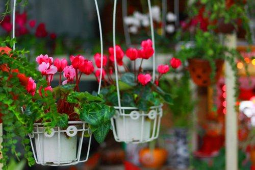 Cách trồng hoa sen cạn đuổi muỗi mùa mưa - cach trong hoa sen can duoi muoi mua mua 1