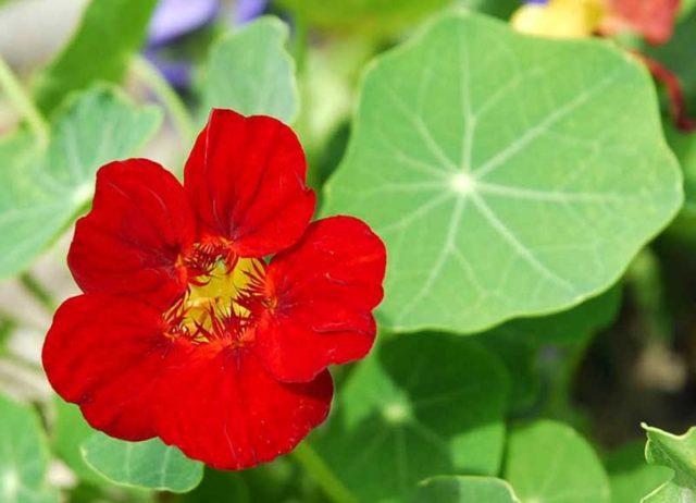 Cách trồng hoa sen cạn đuổi muỗi mùa mưa - cach trong hoa sen can duoi muoi mua mua 2 640x462