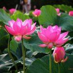 Hướng dẫn cách trồng hoa Sen tại nhà