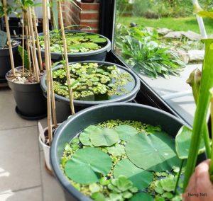 Hướng dẫn cách trồng hoa Sen tại nhà - cach trong hoa sen3 300x284