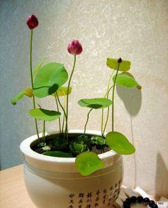 Hướng dẫn cách trồng hoa Sen tại nhà - cach trong hoa sen4 242x300