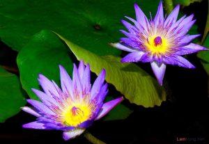 Hướng dẫn cách trồng hoa Súng tại nhà - cach trong hoa sung3 300x207
