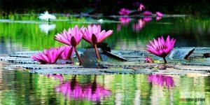 Hướng dẫn cách trồng hoa Súng tại nhà - cach trong hoa sung4 300x150 1