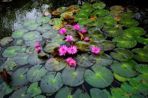 Hướng dẫn cách trồng hoa Súng tại nhà - cach trong hoa sung5 300x199