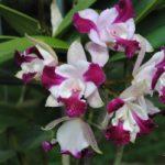Tìm hiểu cách trồng Lan Cattleya (Phần 2)