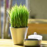 Trồng lúa xanh mơn mởn trên bàn làm việc