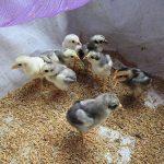 Cách chăm sóc gà chọi con đúng cách, nhanh lớn