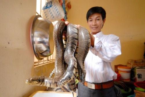 Cách nuôi rắn ri voi tại nhà đơn giản cho năng suất cao - cach nuoi ran ri voi nang suat cao 6 501x335 jpg
