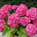 Hướng dẫn cách trồng hoa Cẩm Tú Cầu