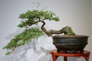 Cây bonsai dáng huyền - cay bonsai dang huyen1 300x200