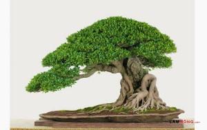 Những loại cây bonsai để bàn thịnh hành - cay bonsai de ban1 300x189