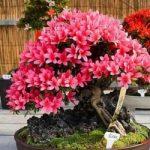 Những loại cây bonsai để bàn thịnh hành - cay bonsai de ban4 300x250 150x150