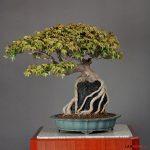Cách tạo dựng cây bonsai ôm đá
