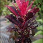 Kỹ thuật trồng Và chăm sóc cây huyết dụ - cay huyet du2 150x150