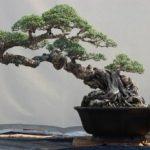 Những nguyên tắc chọn chậu cho cây kiểng bonsai