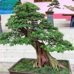 Cách trồng cây Linh Sam hiệu quả - cay linh sam 21 jpg 150x150