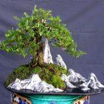 Cơn sốt từ cây bonsai Linh Sam - cay linh sam1 1 768x561 150x150