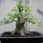 Cây thế bonsai và những quy tắc cơ bản (Phần 1) - cay sung 10 150x150