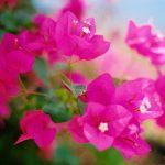 Chia sẻ cách trồng cây hoa Giấy dễ dàng