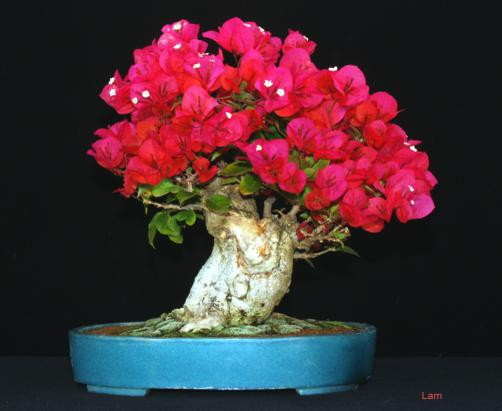 Chia sẻ cách trồng cây hoa Giấy dễ dàng - chia se cach trong cay canh hoa giay de dang 3