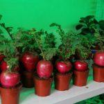 Bí quyết trồng và chăm sóc củ cải đỏ khổng lồ rinh lộc về nhà