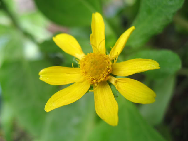 Kỹ thuật chăm sóc hoa cúc mặt trời - cuc mat troi 1 1