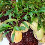 Kỹ thuật trồng dưa pepino