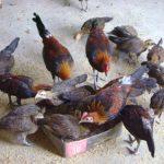Thức ăn giúp gà rừng lớn nhanh và chất lượng tốt