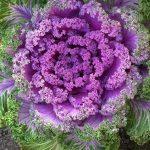 Kỹ thuật trồng cây bắp cải cảnh - hoa bap cai trang tri sakata f17 150x150
