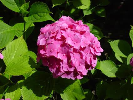 Kỹ thuật chăm sóc và trồng hoa Cẩm tú cầu - hoa cam tu cau 228129