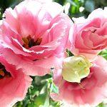 Hướng dẫn cách trồng hoa Cát Tường (Phần 1)