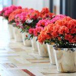 Kỹ thuật trồng và chăm sóc hoa Đỗ Quyên chậu