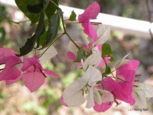 Hướng dẫn cách trồng hoa Giấy - hoa giay ky thuat 300x225