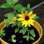 Hướng dẫn cách trồng hoa Hướng Dương tại nhà