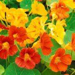 Cách trồng hoa sen cạn đuổi muỗi mùa mưa - hoa sen can 3 150x150
