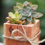 Kỹ thuật trồng hoa sen đá trong chậu - hoa sen da 5 150x150
