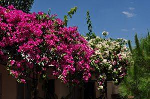 Hướng dẫn cách trồng hoa Giấy - hoagiay2 300x199